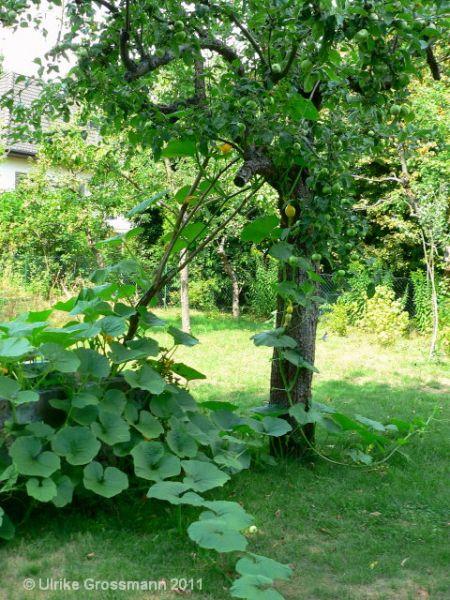 einen apfelbaum pflanzen